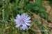 chicory