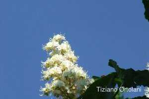 Foto di White Chestnut